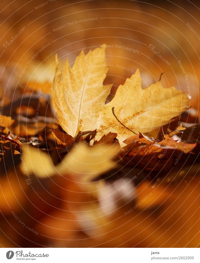 Nature Plant Beautiful Leaf Calm Warmth Yellow Autumn Environment Natural Orange Gold Lie Beautiful weather Simple Hope