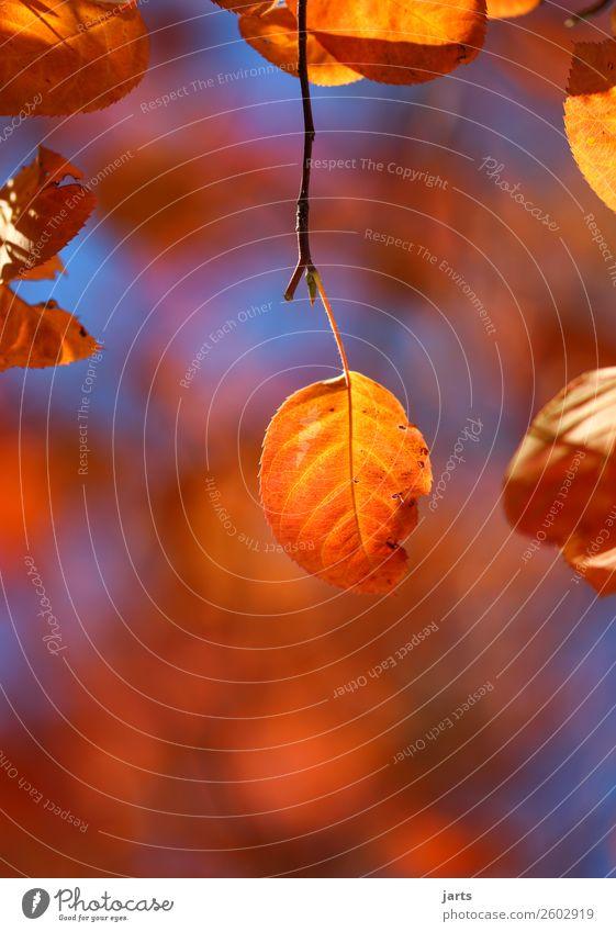 autumn gold I Nature Plant Sky Autumn Beautiful weather Tree Leaf Forest Hang Illuminate Fresh Bright Natural Serene Calm Colour photo Multicoloured