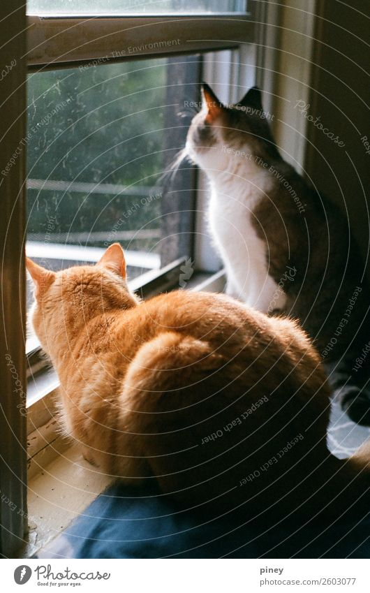 watching II Living or residing Flat (apartment) Animal Pet Cat 2 Pair of animals Interest brothers orange grey hunting trapped domestic Colour photo