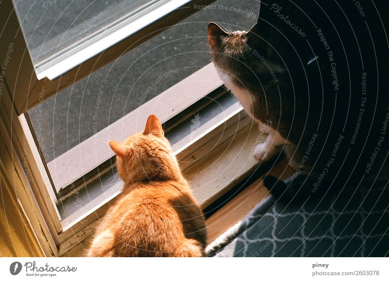 """watching Animal Pet Cat 2 Pair of animals Interest """"gaze,"""" gazing brothers window outside trapped pattern orange grey Exceptional Colour photo Multicoloured"""
