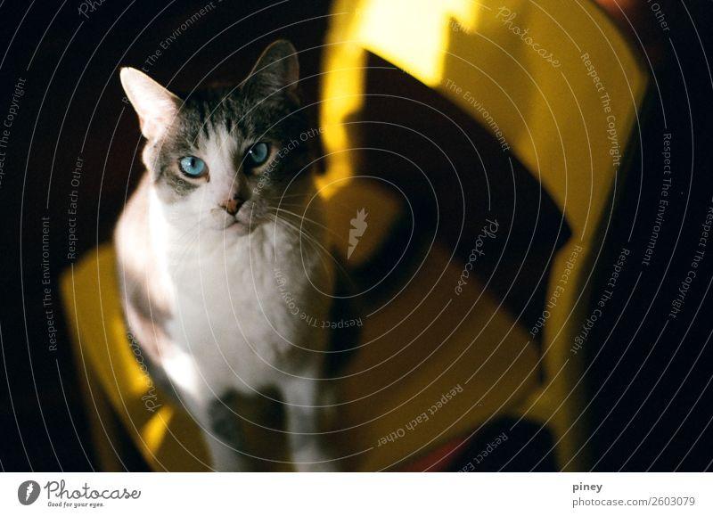 oscar Cat Beautiful White Animal Black Healthy Warmth Yellow Natural Brown Gray Esthetic Cute Soft Fat Pet
