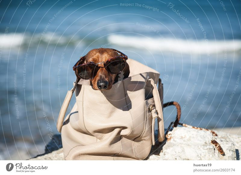 Dachshund dog with sunglasses Vacation & Travel Dog Summer Blue Colour Beautiful Water Red Sun Relaxation Animal Beach Lifestyle Funny Coast Leisure and hobbies