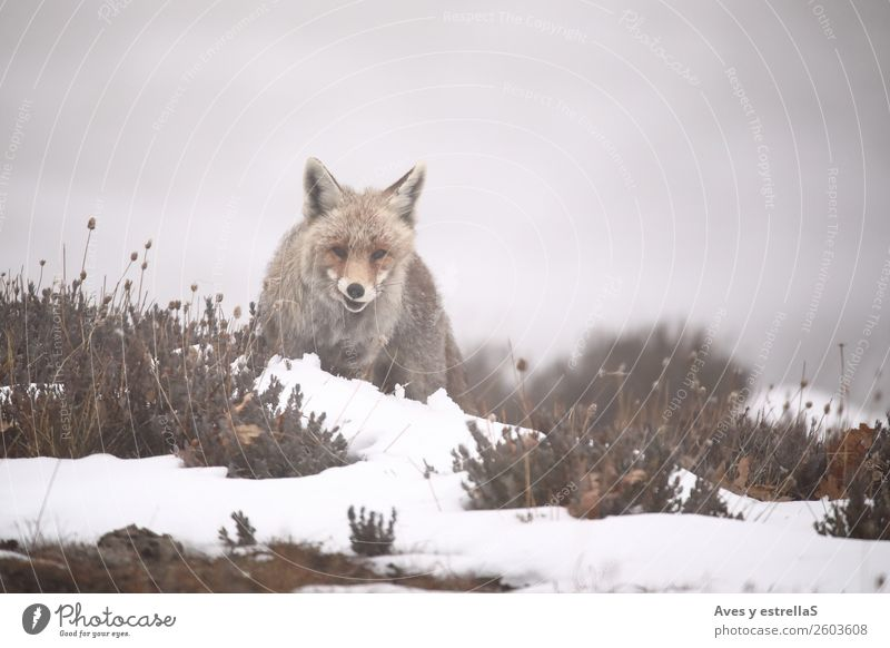 Fox in the snow Nature Animal Fog Snow Field Forest Hill Wild animal Dog Animal face 1 Gray Green Red Colour photo Exterior shot Deserted Day Evening