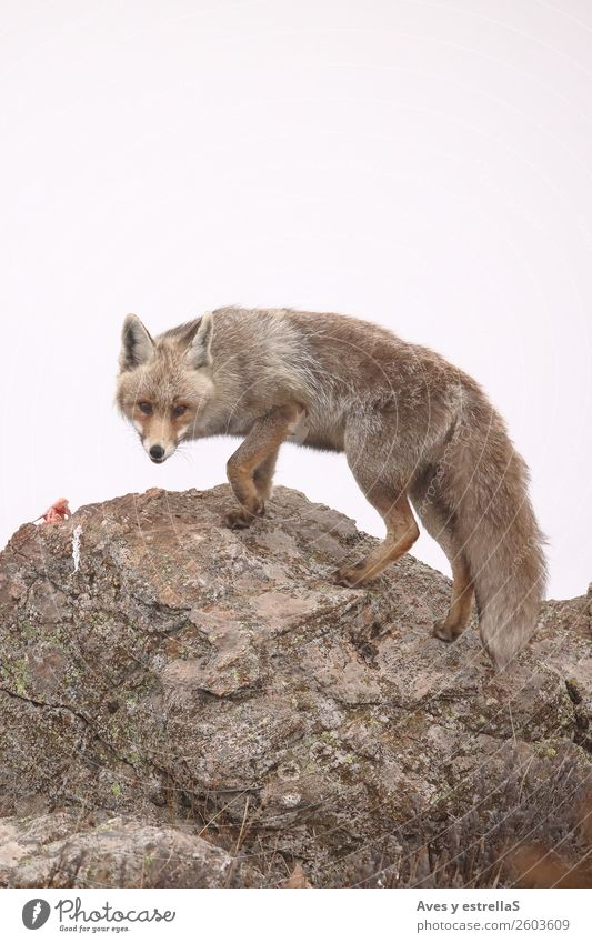 Fox on a rock a foggy day Nature Dog Colour Animal Wild animal Zoo Animal face