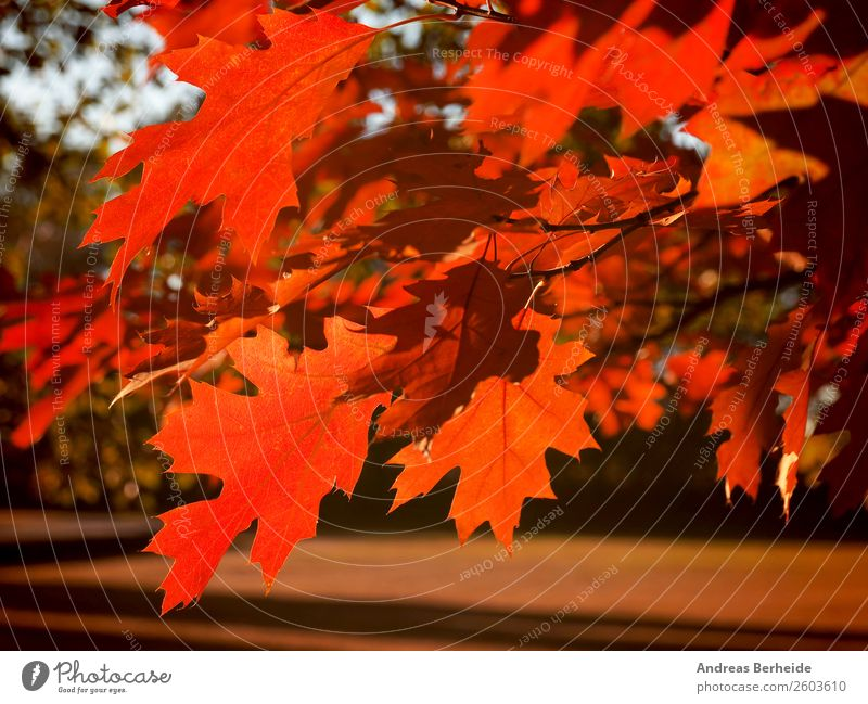 autumn maple leaf Relaxation Calm Nature Sunrise Sunset Sunlight Autumn Beautiful weather Tree Leaf Park Red Peace beautiful natural bright colorful Orange