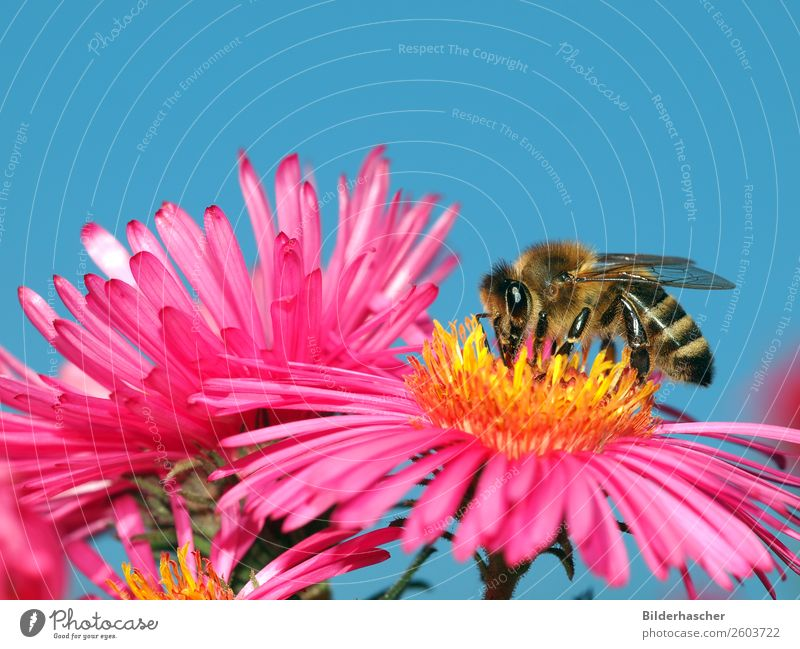 Nectar ashtray on pink aster Bee Honey bee Aster Brilliant Insect Flying insect Blossom Flower Pink Blossom leave Pollen winteraster Crawl Environment Autumnal