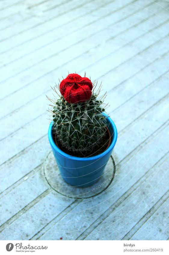 Solo for a cactus Plant Cactus Pot plant Authentic Beautiful Thorny Blue Green Red Loneliness 1 Cactus flower Puristic Line Diagonal Garden table Blossoming