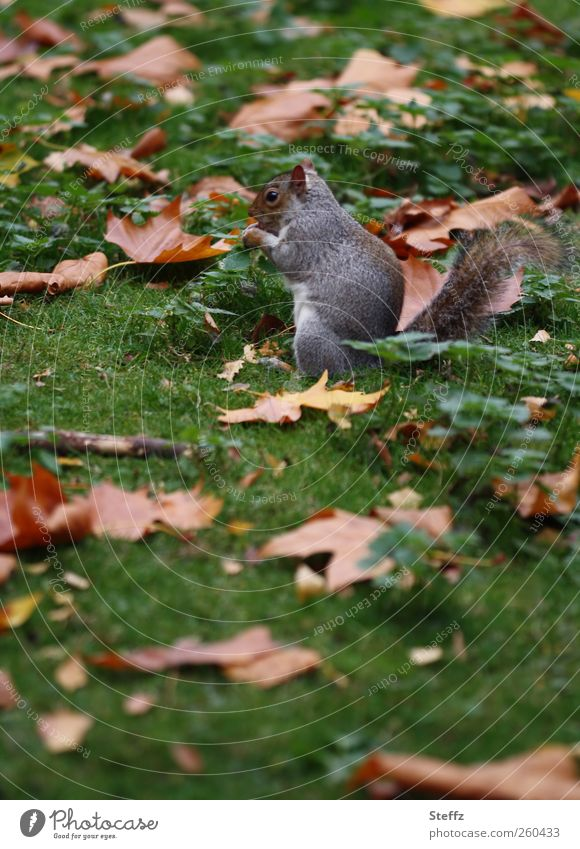 breakfast break Environment Nature Autumn Grass Leaf Autumn leaves Park Meadow Animal Wild animal Squirrel Rodent To feed Small Natural Brown Green