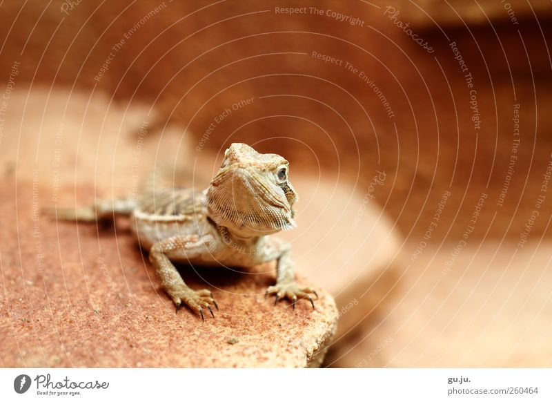 Bearded Dragon Cleo Earth Animal Pet Reptiles Barbed agame bearded dragon Terrarium Desert Stone Sand Pattern 1 Baby animal Sit Wait Exceptional Brown Red Black