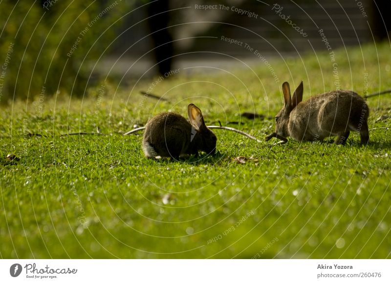 Joint lawn care Nature Spring Summer Grass Meadow Animal Pet Wild animal Hare & Rabbit & Bunny 2 Touch To feed Sit Natural Brown Gray Green Black Together