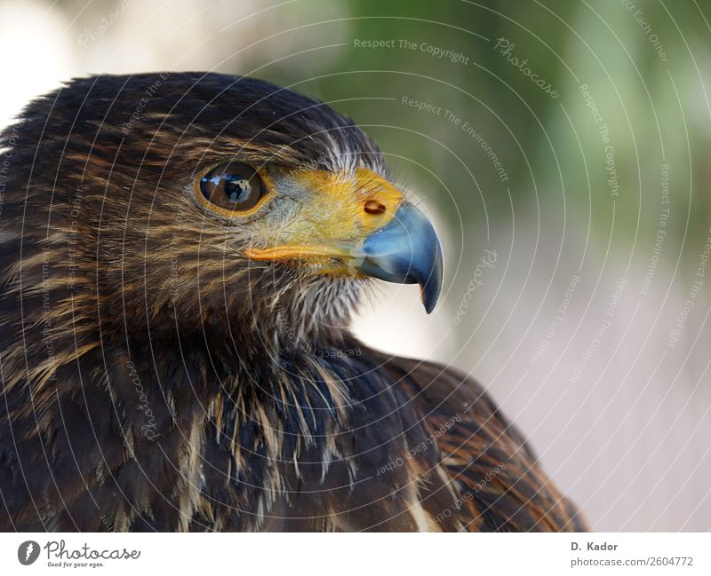 eagle eye Nature Animal Wild animal Bird Animal face Eagle 1 Breathe Observe Crouch Looking Sit Esthetic Threat Speed Point Blue Brown Yellow Bravery Power