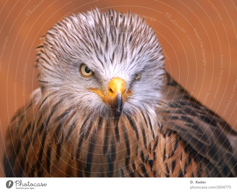 Skilful hunter Animal Wild animal Bird Animal face Wing Red kite 1 Group of animals Blur Breathe Catch Flying To feed Feeding Hunting Fight Looking Sit Esthetic