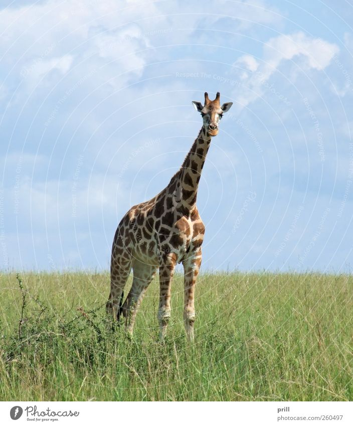 Giraffe in sunny ambiance Elegant Life Vacation & Travel Far-off places Freedom Safari Nature Plant Animal Earth Sky Horizon Sunlight Summer Beautiful weather