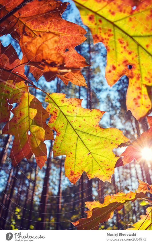 Autumn leaves against the sun. Sun Nature Plant Tree Leaf Park Old Bright Natural Yellow Senior citizen Decadence Colour Nostalgia Calm orange Seasons