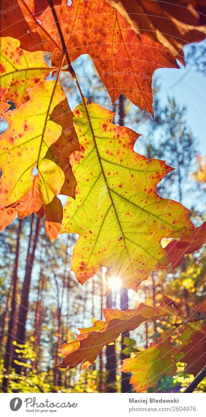Autumn leaves against the sun. Sun Nature Plant Beautiful weather Tree Leaf Foliage plant Park Forest Old Bright Natural Yellow Senior citizen Colour Serene