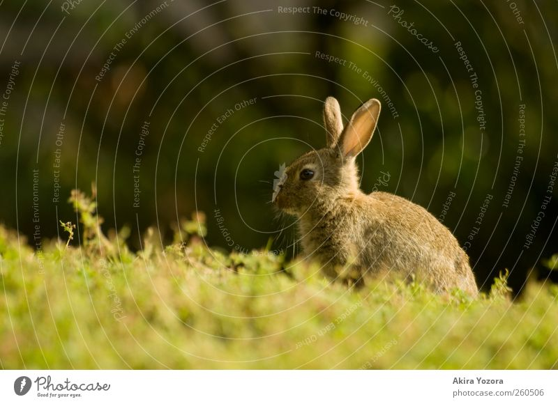 With sun in your back Nature Spring Summer Grass Meadow Animal Pet Wild animal Hare & Rabbit & Bunny 1 Sit Wait Brown Green Black Relaxation Colour photo
