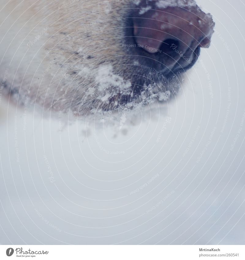 cold snout. Environment Winter Bad weather Ice Frost Snow Snowfall Animal Pet Dog 1 Cold Colour photo Subdued colour Close-up Detail Macro (Extreme close-up)