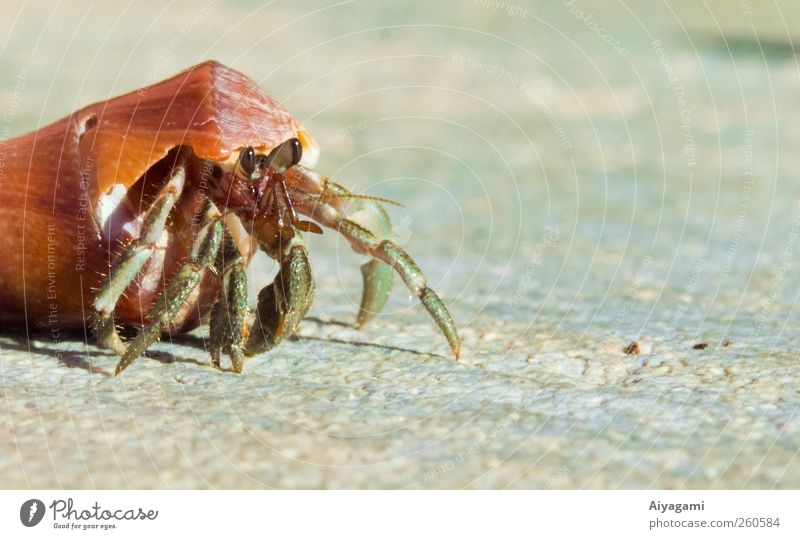 Hermit Crab Nature Animal Movement Small Stone Wild animal Free Island Safety Animal face Protection Moving (to change residence) Strong Exotic Hard Crawl