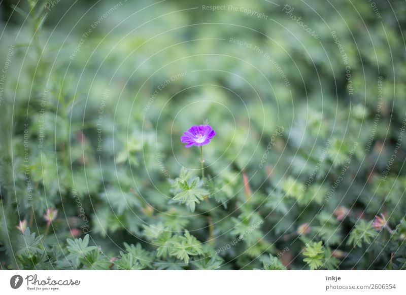Stork's Bill (?) Nature Plant Summer Flower Blossom Ground cover plant Garden Blossoming Small Green Violet storchenschnabel Colour photo Exterior shot Close-up