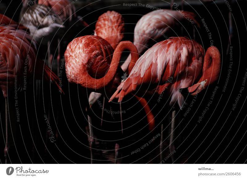 inflamed ingos Animal Wild animal Bird Flamingo terrestrial vertebrate Group of animals Exotic Red Black Dark Colour photo Subdued colour Exterior shot