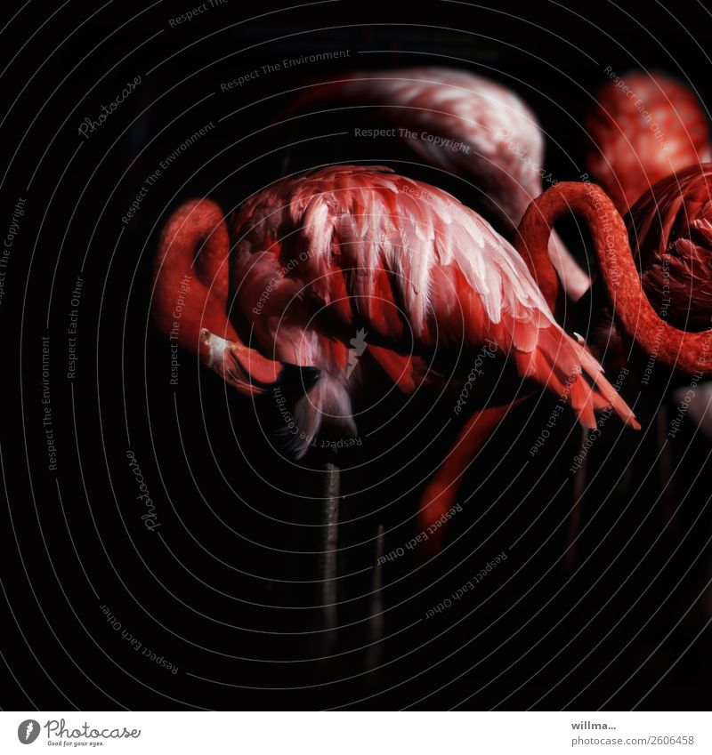 Flamingos at night Wild animal Group of animals Esthetic Dark Exotic Red Black Exceptional Night Square Copy Space