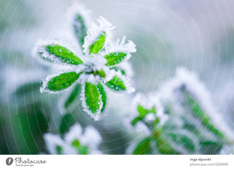 green star Environment Nature Landscape Plant Elements Winter Climate Weather Ice Frost Flower Leaf Foliage plant Wild plant Fresh Cold Green White Hope