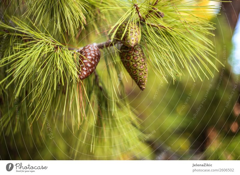 Close-up view at the green pine with young cones Beautiful Summer Winter Decoration Environment Nature Plant Autumn Tree Park Forest Bright Natural Green Colour