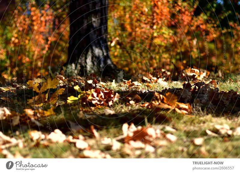 Autumn leaves on meadow and tree with sun and shade Environment Nature Beautiful weather Plant Tree Grass Bushes Leaf Garden Park Meadow Forest Senior citizen