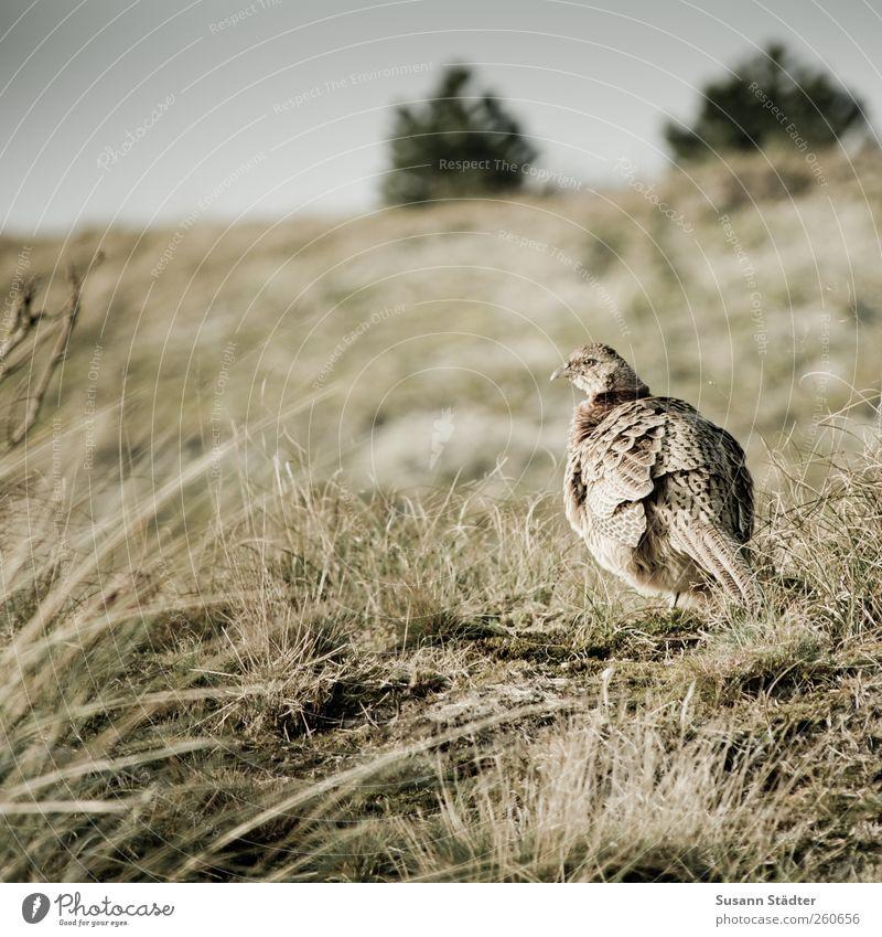 Nature Park Bird Wild animal Bushes Hill Hunting Spiekeroog Free-living Free-roaming Pheasant