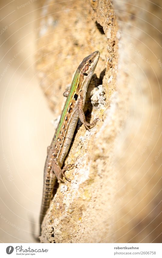 Lizard climbs up a wall Sand Animal Wild animal Lizards 1 Crawl Walking Colour photo Exterior shot Copy Space left Copy Space right Day Deep depth of field