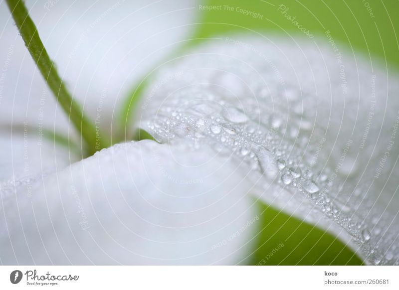 summer rain Environment Nature Plant Drops of water Flower Leaf Blossom Water Blossoming Fragrance Lie Dream Sadness Esthetic Authentic Elegant Fluid Glittering