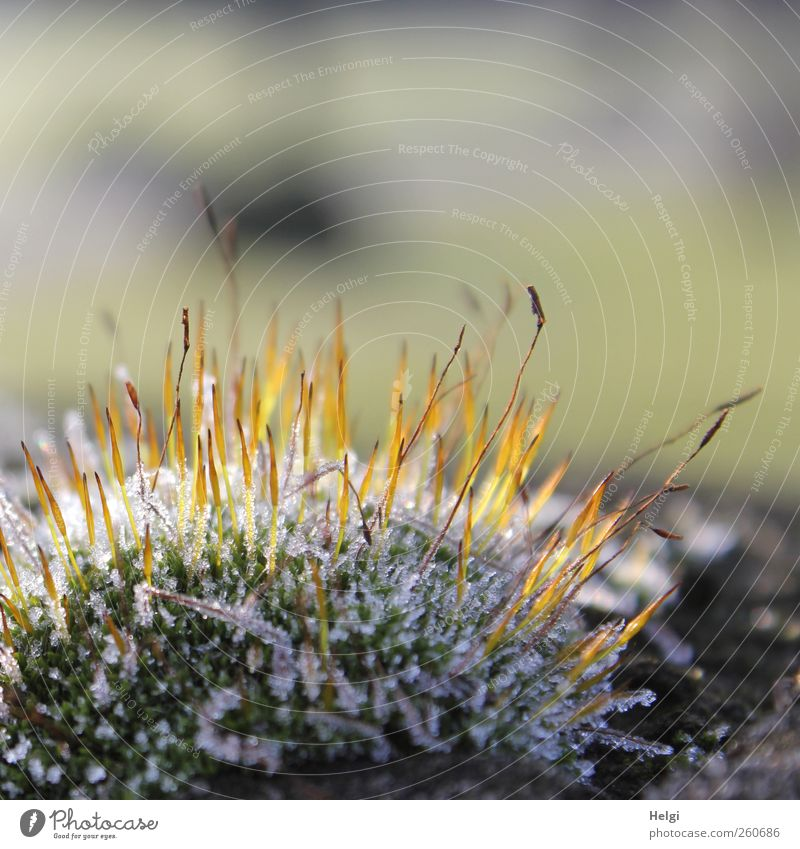 freezing cold... Environment Nature Plant Winter Ice Frost Moss Foliage plant Wild plant Glittering Illuminate Stand Growth Esthetic Cold Small Natural Brown