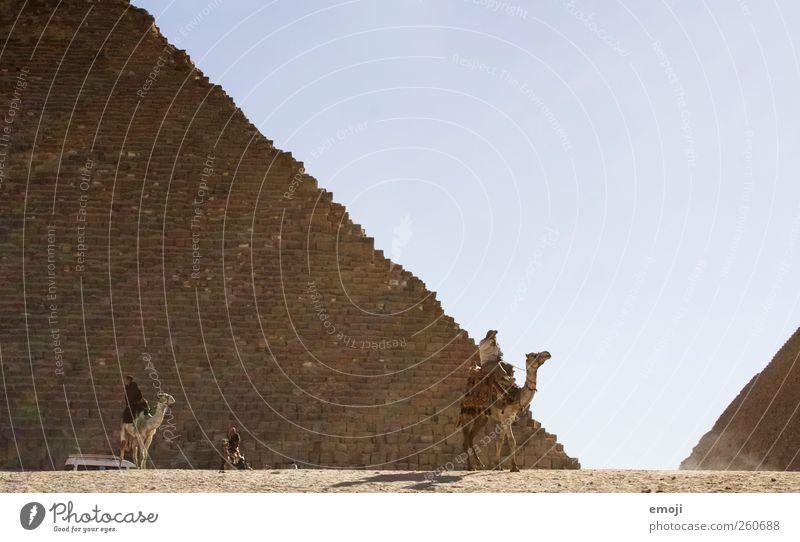 camel Environment Nature Sky Cloudless sky Beautiful weather Warmth Drought Desert Farm animal Exceptional Sand Camel Pyramid Giza Colour photo Exterior shot
