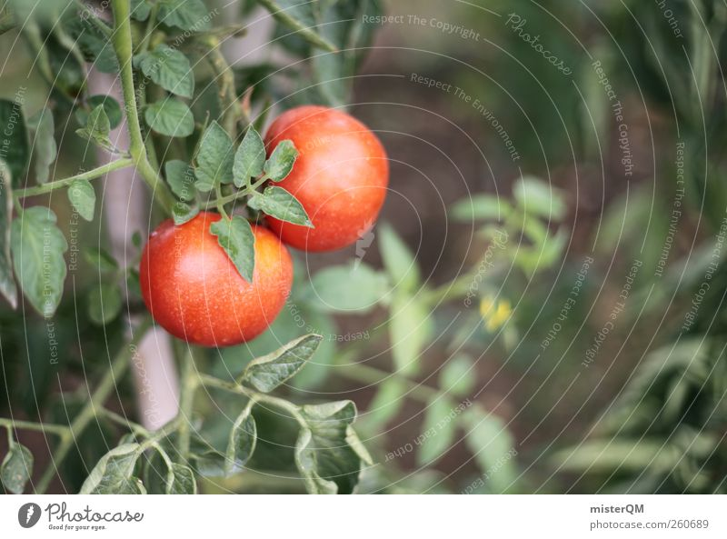 Tomatina? Art Esthetic Tomato Tomato juice Tomato soup Tomato plantation 2 In pairs Red Green Growth Harvest Garden Own Healthy Eating Ecological