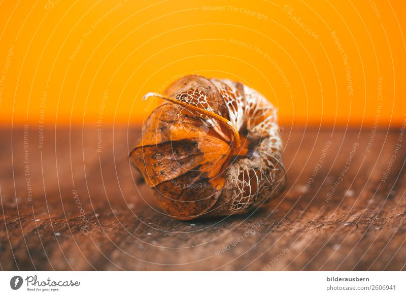 Autumn artwork in orange Plant Blossom Physalis Fruit Decoration Cycle Illuminate To dry up Esthetic Beautiful Dry Brown Orange Emotions Warm-heartedness