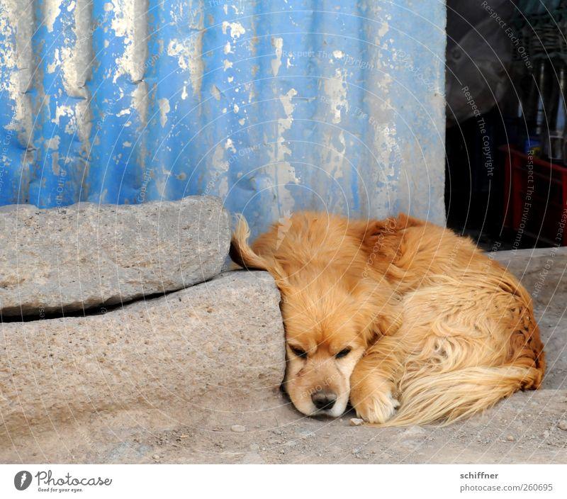 eavesdropping attack Animal Pet Dog Animal face Paw 1 Lie Sadness Relaxation Listening Cuddling Dog's snout Puppydog eyes Dog's head Corrugated sheet iron