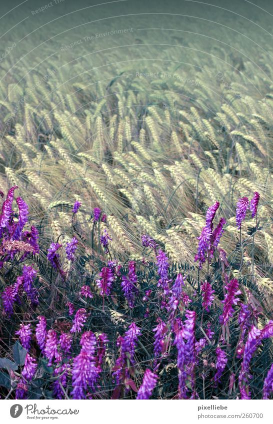 Warm field wind Fragrance Far-off places Environment Nature Landscape Plant Air Wind Flower Agricultural crop Meadow Field Deserted Movement Blossoming To swing