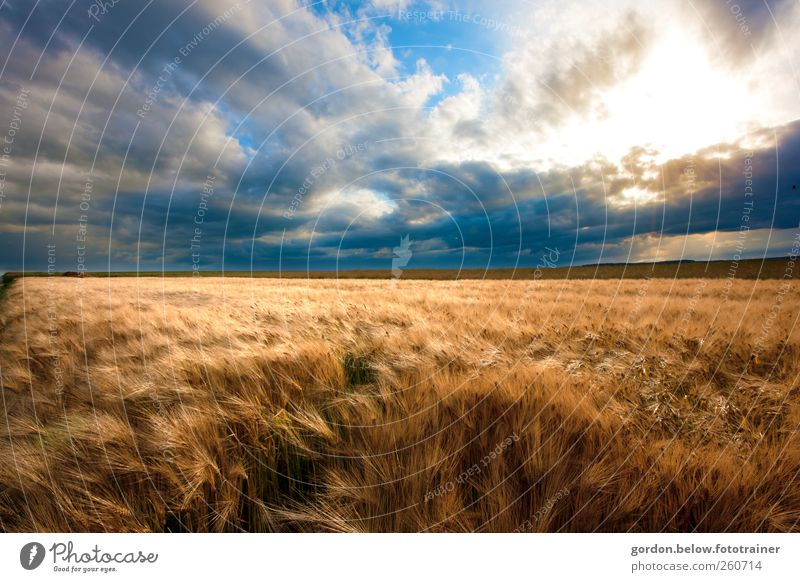 before the storm Grain Far-off places Summer Movement Blue Brown Yellow Gold Wheatfield Sky Clouds Wind Gale Horizon Colour photo Exterior shot Deserted Evening