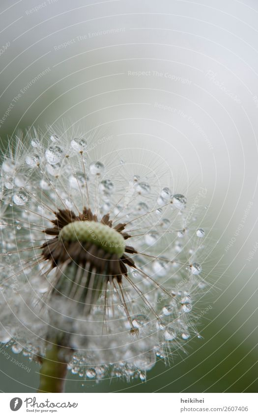 Morning dew - dandelion with water drops Nature Plant Spring Flower Garden Glittering Illuminate Wet Green White Enthusiasm Beautiful Dandelion Easy