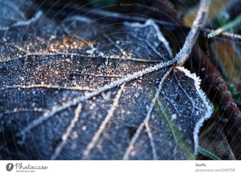 freezing cold Environment Nature Winter Ice Frost Leaf Rachis Freeze Glittering Cold Natural Beautiful Blue Winter mood Mood lighting Hoar frost Shaft of light