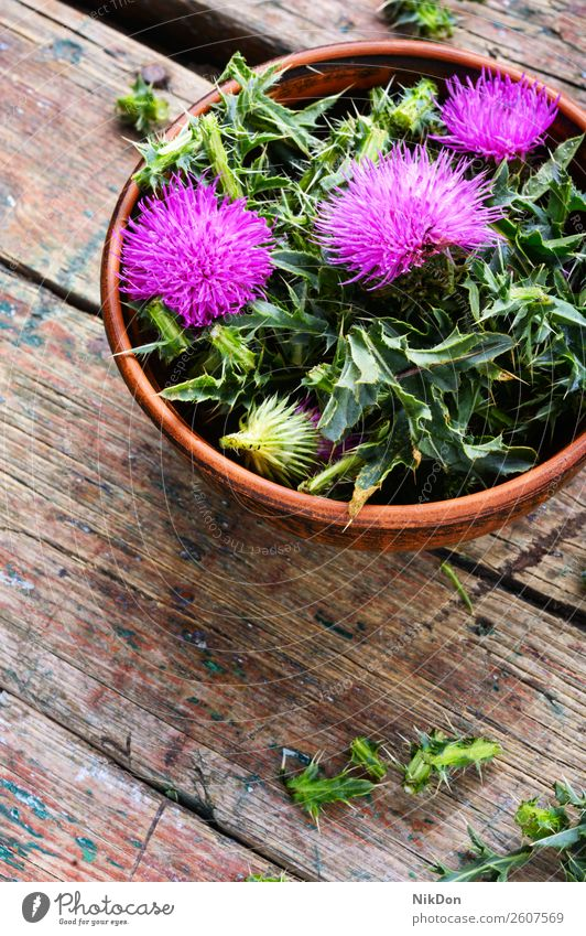 Onopordum and herbalism.Thistle thistle thorn plant nature medicine natural medicinal healthy blossom herbalist mortar wild weed pink flora leaf