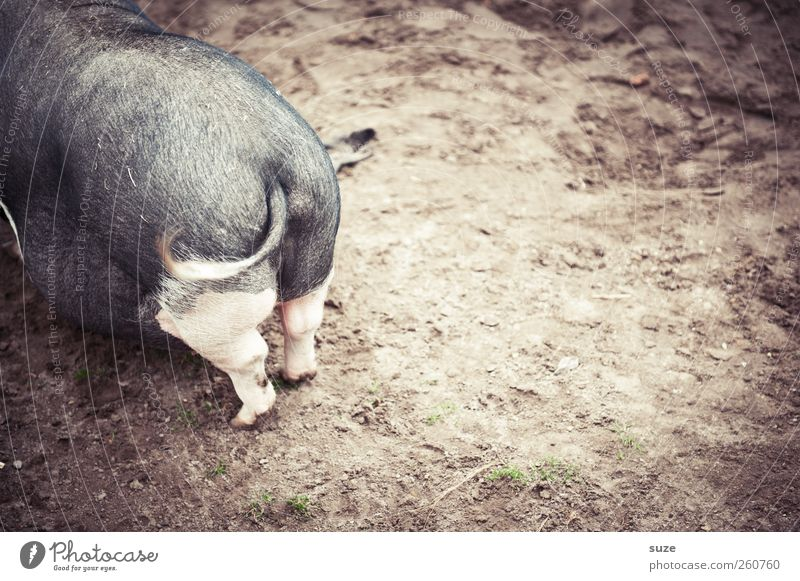pig stuff Agriculture Forestry Animal Earth Sand Pet Farm animal 1 Authentic Dirty Funny Natural Brown Gray Swine Hind quarters Tails curly tail Pot-bellied pig