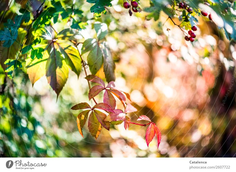 Leaves of the Wild Vine Nature Plant Autumn Beautiful weather Leaf Hawthorn Berries Virginia Creeper Wild vine Hedge Autumn leaves Garden Forest To dry up Green