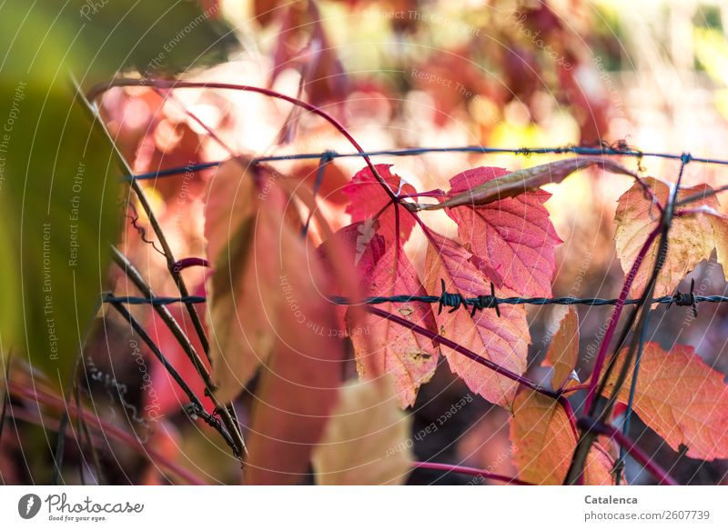 barbed wire Nature Plant Autumn Leaf Virginia Creeper Wild vine Garden Barbed wire Steel To fall Illuminate To dry up Point Green Orange Pink Black Moody