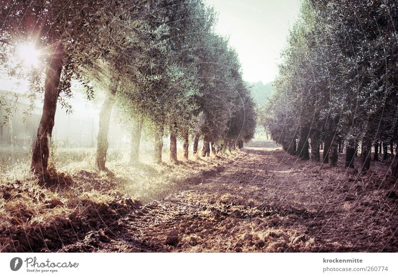 olio di oliva II Sprinkler system Nature Landscape Plant Earth Water Drops of water Sun Summer Tree Olive Olive tree Olive grove Olive oil Olive harvest Field