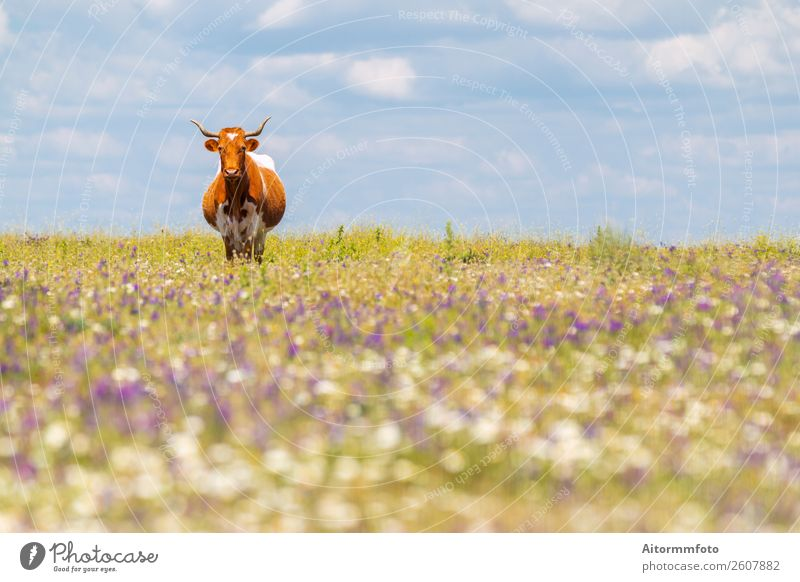 Cow with horns in summer field with flowers Beautiful Summer Culture Environment Nature Landscape Animal Sky Grass Meadow Village To feed Natural Green