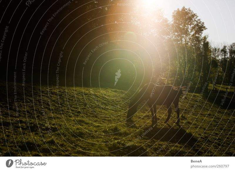 horse Ride Nature Landscape Plant Animal Earth Sunrise Sunset Sunlight Spring Summer Beautiful weather Meadow Farm animal Horse 1 Relaxation To feed Stand