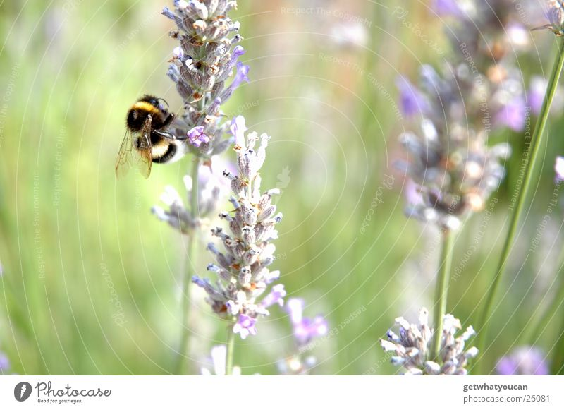 organic helicopter Bumble bee Flower Meadow Summer Near Blur Small Calculation Buzz Nature depth blur Wing