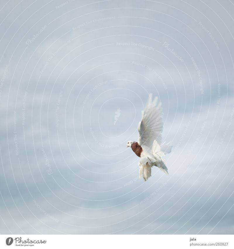 dove Sky Clouds Animal Bird Pigeon Wing 1 Flying Aggression Colour photo Exterior shot Deserted Copy Space left Copy Space right Copy Space top