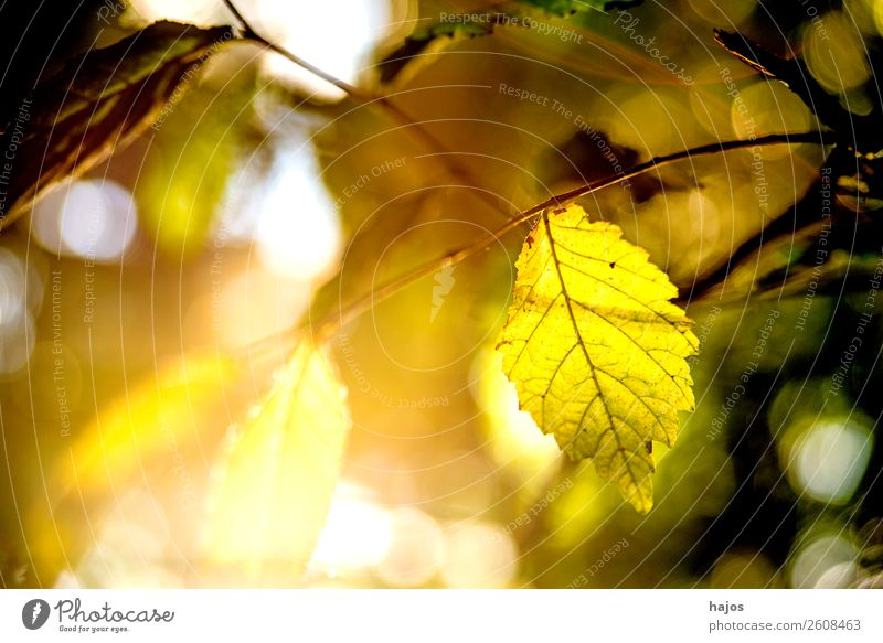 beech, leaf in backlight in autumn Nature Tree Colour Beech tree Leaf Beech leaf Back-light Sun Bright Brilliant sunny Yellow Autumn Autumnal colours romantic